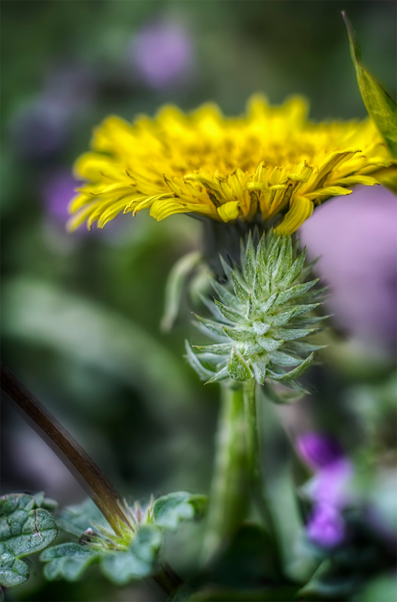 Some new friends arrived this year to keep our dandelions company... 50mm f/1.8 +12mm extension tube - 3 shot HDR